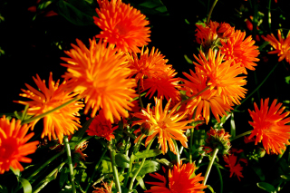 Orange Chrysanthemum Wallpaper for Android, iPhone and iPad