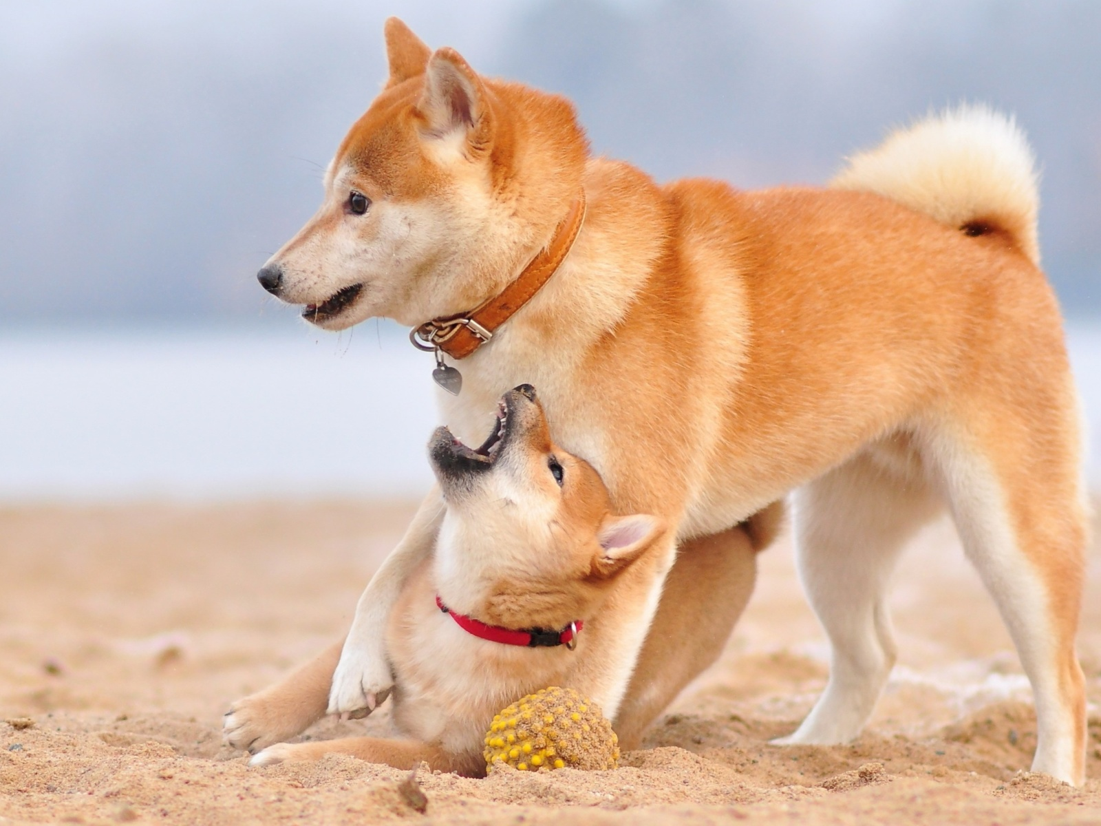 Akita Inu on Beach screenshot #1 1600x1200