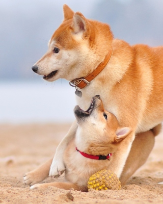 Free Akita Inu on Beach Picture for Nokia Asha 306