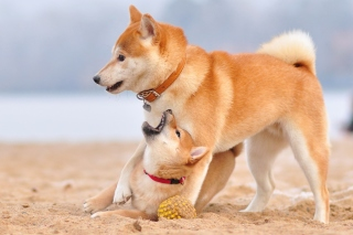 Akita Inu on Beach Background for Android 480x800