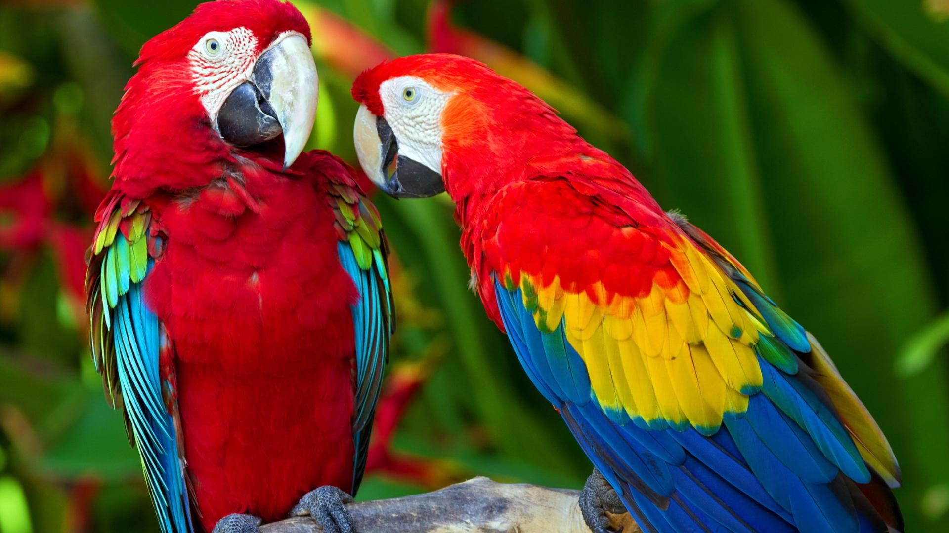 природа животные синий волнистый попугай скачать