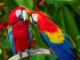 Two Macaws para Nokia Asha 201