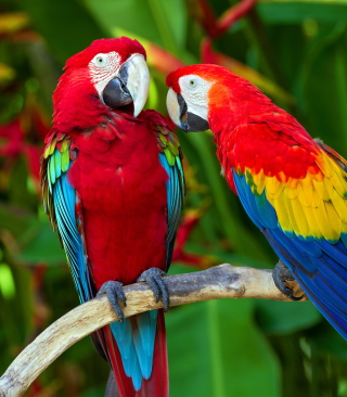 Two Macaws Picture for Nokia Asha 306