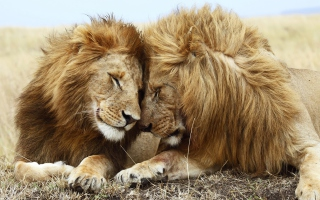 Lions Couple Picture for Android, iPhone and iPad
