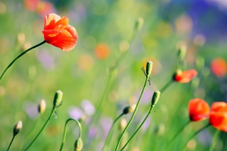 Poppies Meadow Background for 1600x1200