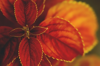 Red Macro Leaves sfondi gratuiti per cellulari Android, iPhone, iPad e desktop