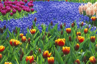 Обои Keukenhof Gardens In Holland на телефон Android 480x800