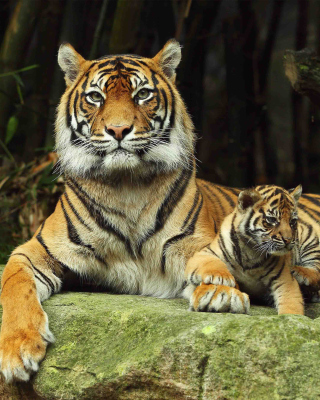 Tiger Family sfondi gratuiti per iPhone 4S