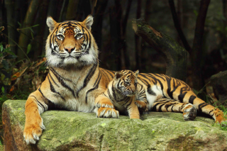 Tiger Family Wallpaper for Android, iPhone and iPad