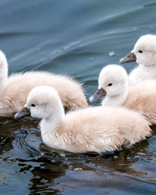 Cygnets Wallpaper for HTC Titan