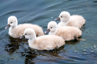 Cygnets Background for Android, iPhone and iPad