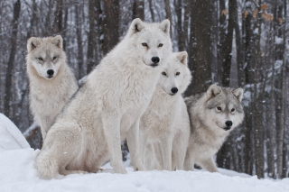 Wolf Pack Howls Background for Android, iPhone and iPad