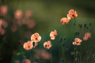 Kostenloses Light Red Poppies Wallpaper für Android, iPhone und iPad