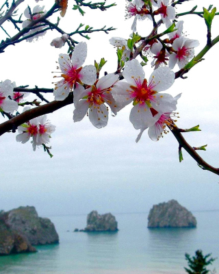 Free Japanese Apricot Blossom Picture for HTC Titan