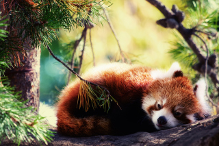 Sleeping Red Panda Picture for Android, iPhone and iPad