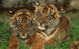 Tiger Cubs sfondi gratuiti per cellulari Android, iPhone, iPad e desktop