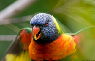 Rainbow Lorikeet Parrot Wallpaper for Android, iPhone and iPad