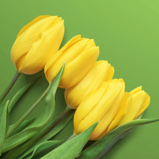Yellow Tulips Wallpaper for 208x208