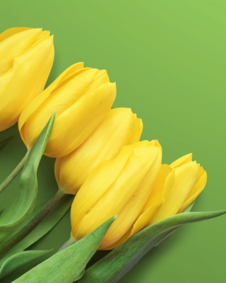 Yellow Tulips Wallpaper for iPhone 5S