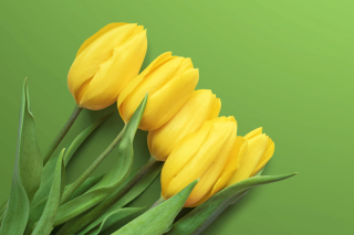 Yellow Tulips Background for Desktop 1280x720 HDTV