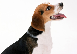 Free Artois Hound Dog Picture for Android, iPhone and iPad