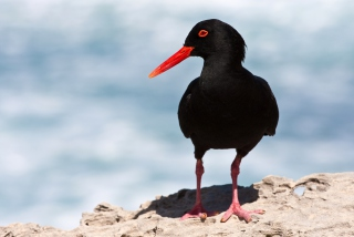Oystercatcher Picture for Android, iPhone and iPad