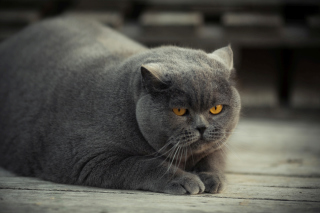 Gray Fat Cat Picture for Android, iPhone and iPad