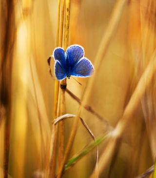 Blue Butterfly In Autumn Field papel de parede para celular para 640x1136