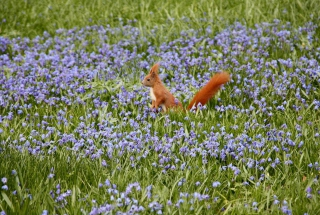 Squirrel And Blue Flowers - Obrázkek zdarma