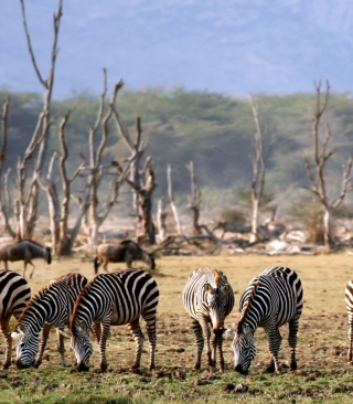 Free Grazing Zebras Picture for Nokia X1-01