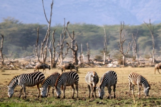 Grazing Zebras Picture for Android, iPhone and iPad