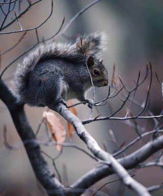 Squirrel On Branch Picture for iPhone 6 Plus