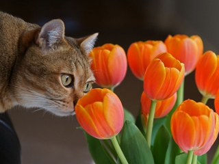 Cat And Tulips wallpaper 320x240