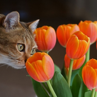 Обои Cat And Tulips для iPad mini 2
