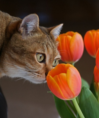 Cat And Tulips Wallpaper for Nokia C6