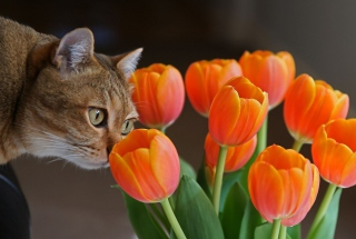 Cat And Tulips - Fondos de pantalla gratis para Samsung I9080 Galaxy Grand