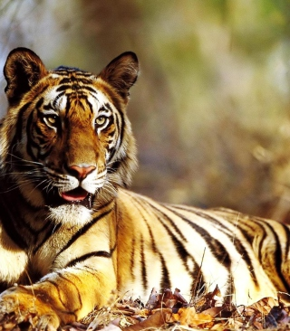 Free Tiger Picture for 240x320