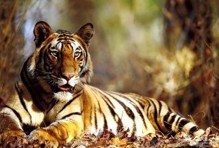 Tiger Picture for Android, iPhone and iPad