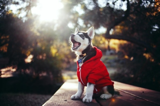 Cute Husky Puppy Picture for Android, iPhone and iPad