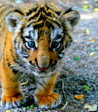 Free Cute Tiger Cub Picture for Nokia C2-05