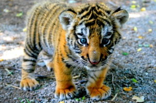 Cute Tiger Cub Wallpaper for Android, iPhone and iPad