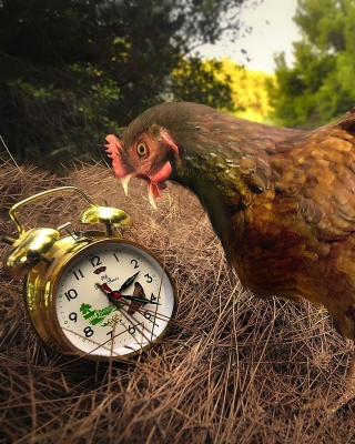 Chicken and Alarm Wallpaper for Nokia C2-02
