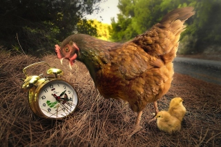 Chicken and Alarm Picture for Android, iPhone and iPad