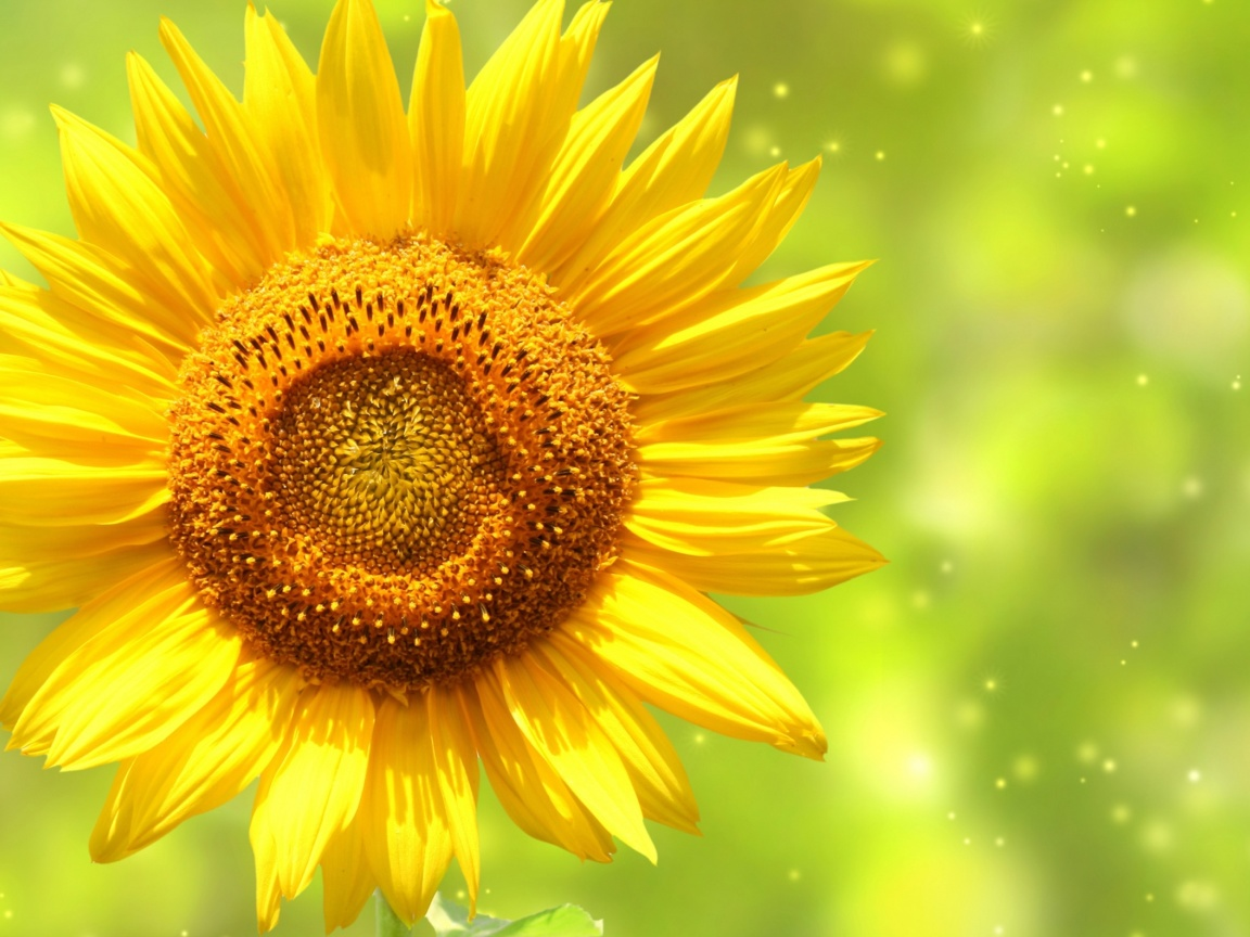 Screenshot №1 pro téma Giant Sunflower 1152x864