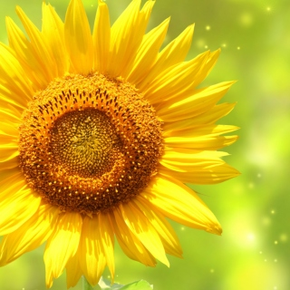 Giant Sunflower Background for iPad