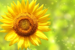 Giant Sunflower Wallpaper for Android, iPhone and iPad