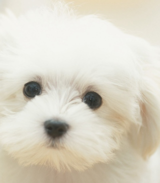 Cute Maltese Picture for Nokia Asha 310