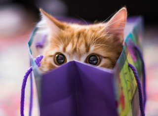 Funny Kitten In Bag Picture for Android, iPhone and iPad