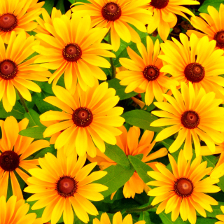 Rudbeckia Yellow Flowers Background for iPad 3