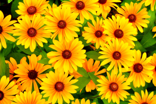 Rudbeckia Yellow Flowers Background for Android, iPhone and iPad